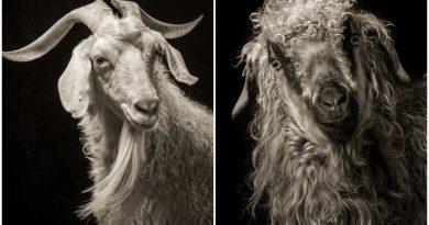 """Koyun ve keçilerin farklı karakterleri: Kevin Horan'dan """"CHATTEL"""""""