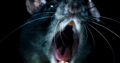 """Yeni Morgan Spurlock belgeseli """"Rats""""ten kısa bir sahne"""