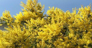 Adalar sakinlerinden varlığı tehdit edilen mimoza çiçekleri için dayanışma çağrısı
