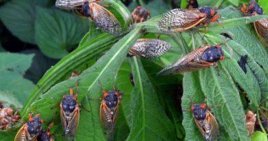 Yıllar sonra yeryüzüne çıkacak trilyonlarca ağustos böceği ve diğerleri #dünyadönüyor